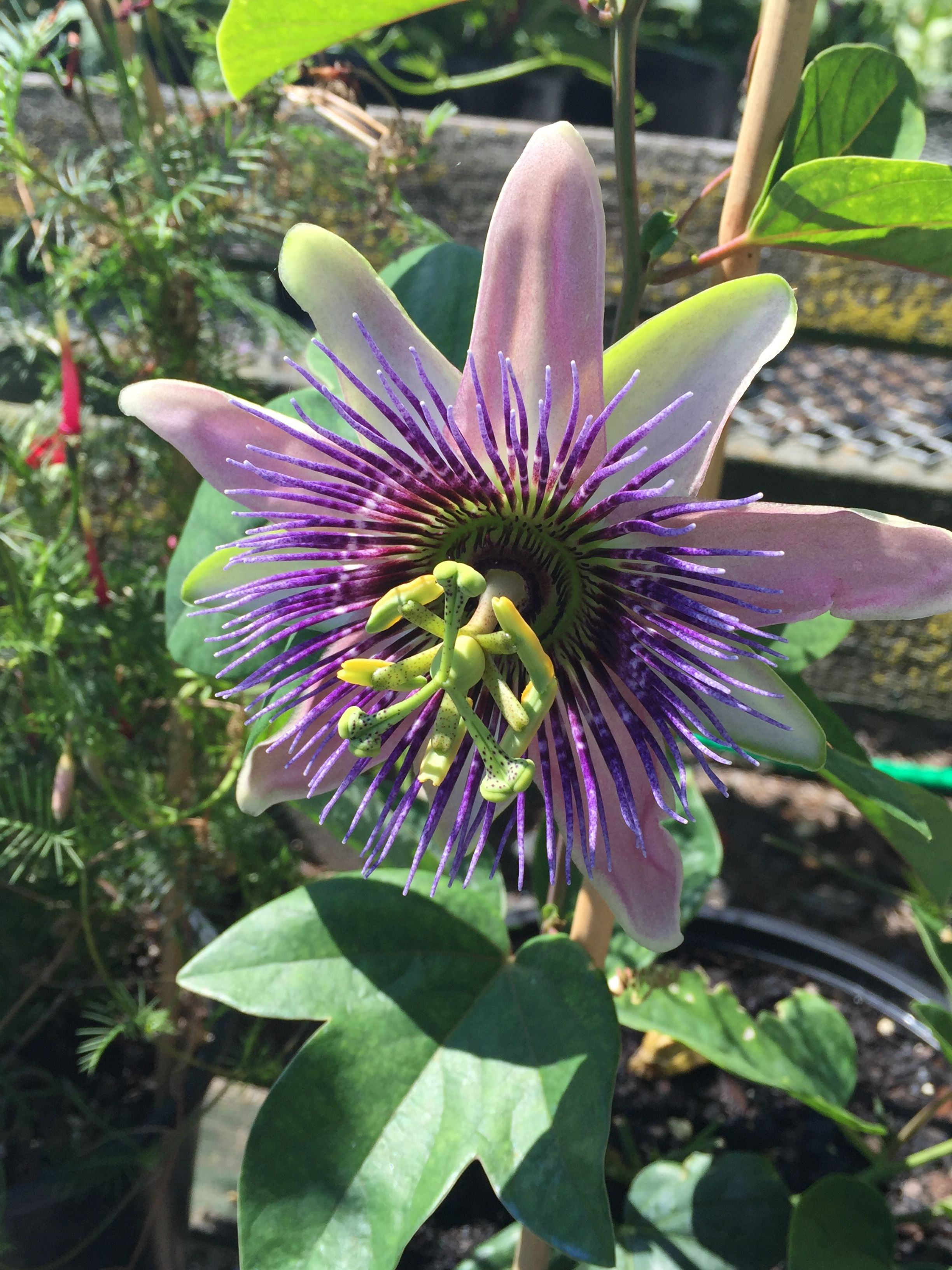 Passion Flower Meadsnursery Passion Flower Flowers Plants