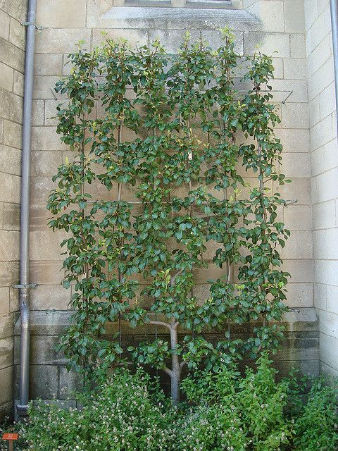 arbres fruitiers en espalier un verger qui ne prend pas de place jardinage fruitier. Black Bedroom Furniture Sets. Home Design Ideas