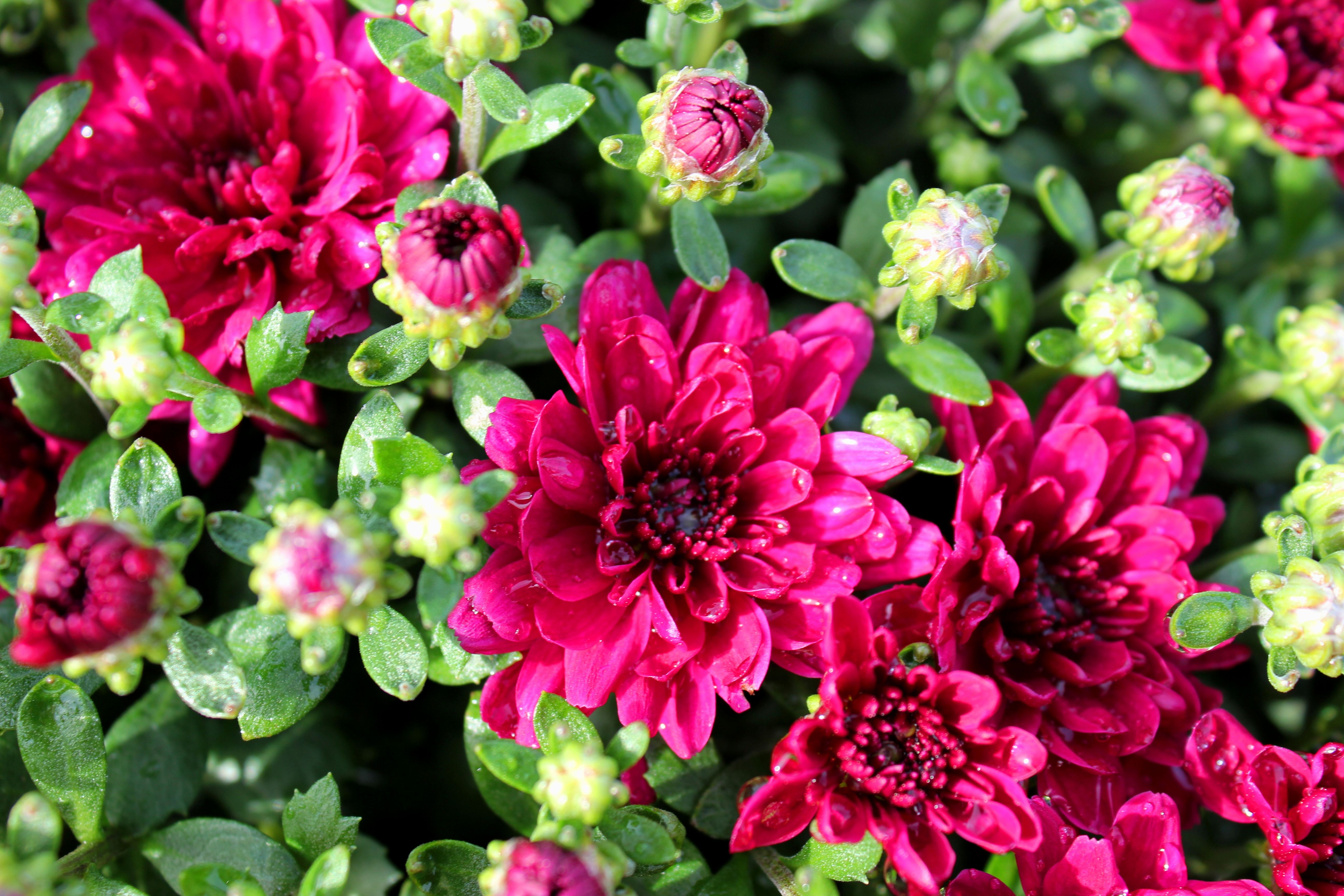 New Mums! What do you think? New mums, Perennials, Plants