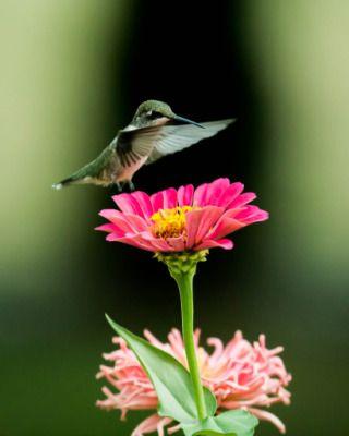 photo Hummingbird2.jpg