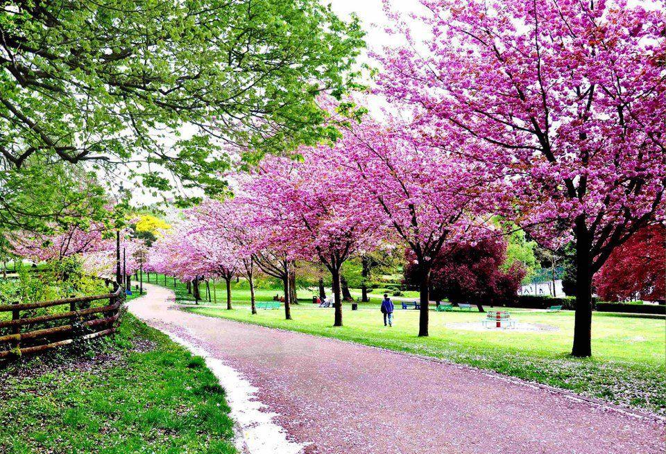 Cherry blossom pontypool park england places pinterest for Garden trees england
