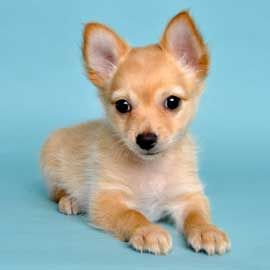 Puppies 4 Justpuppies Net Cute Dogs And Puppies Puppies Pomchi Puppies