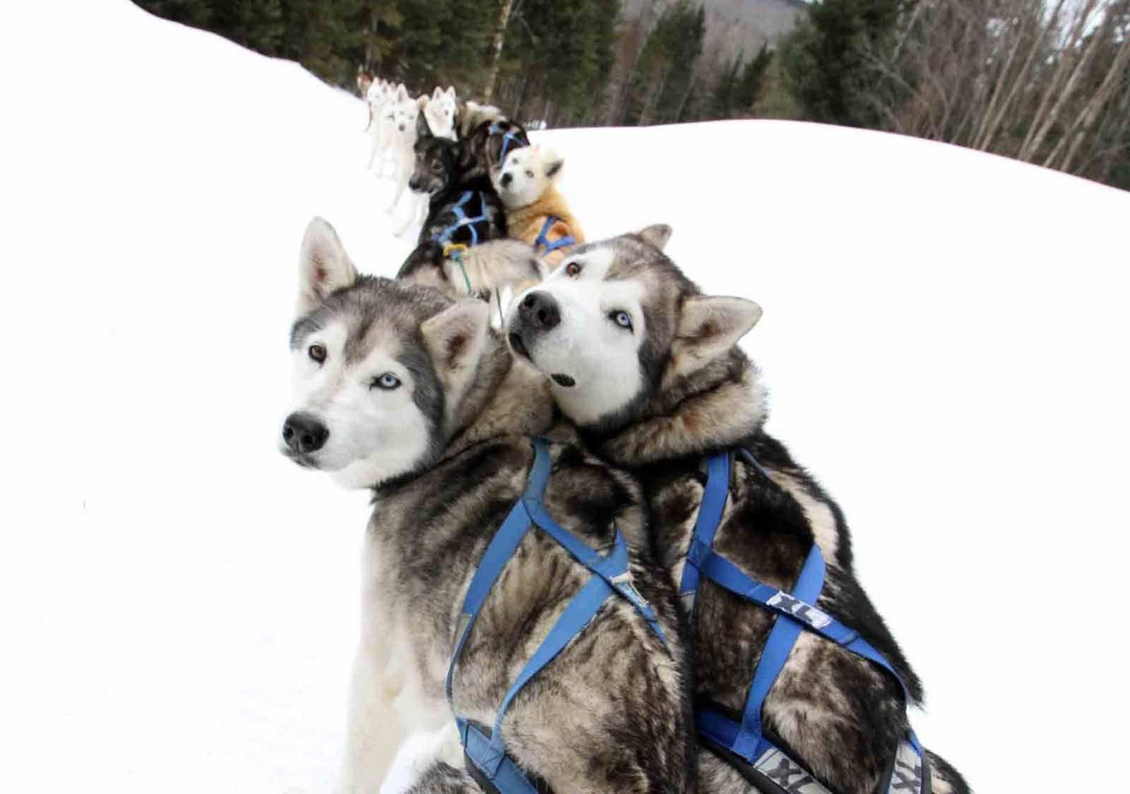 Muddy Paw Dog Sledding (With images) Dogs, Dog sledding