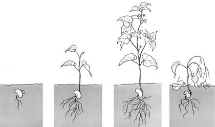 la croissance d 39 une plante sciences en maternelle pinterest croissance plantes et les. Black Bedroom Furniture Sets. Home Design Ideas