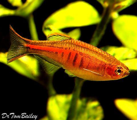 Glowlight Danio Featured Item Glowlight Danio Fish Petfish Aquarium Aquariums Freshwater Freshwaterfish Feat Aquarium Accessories Tropical Fish Fish