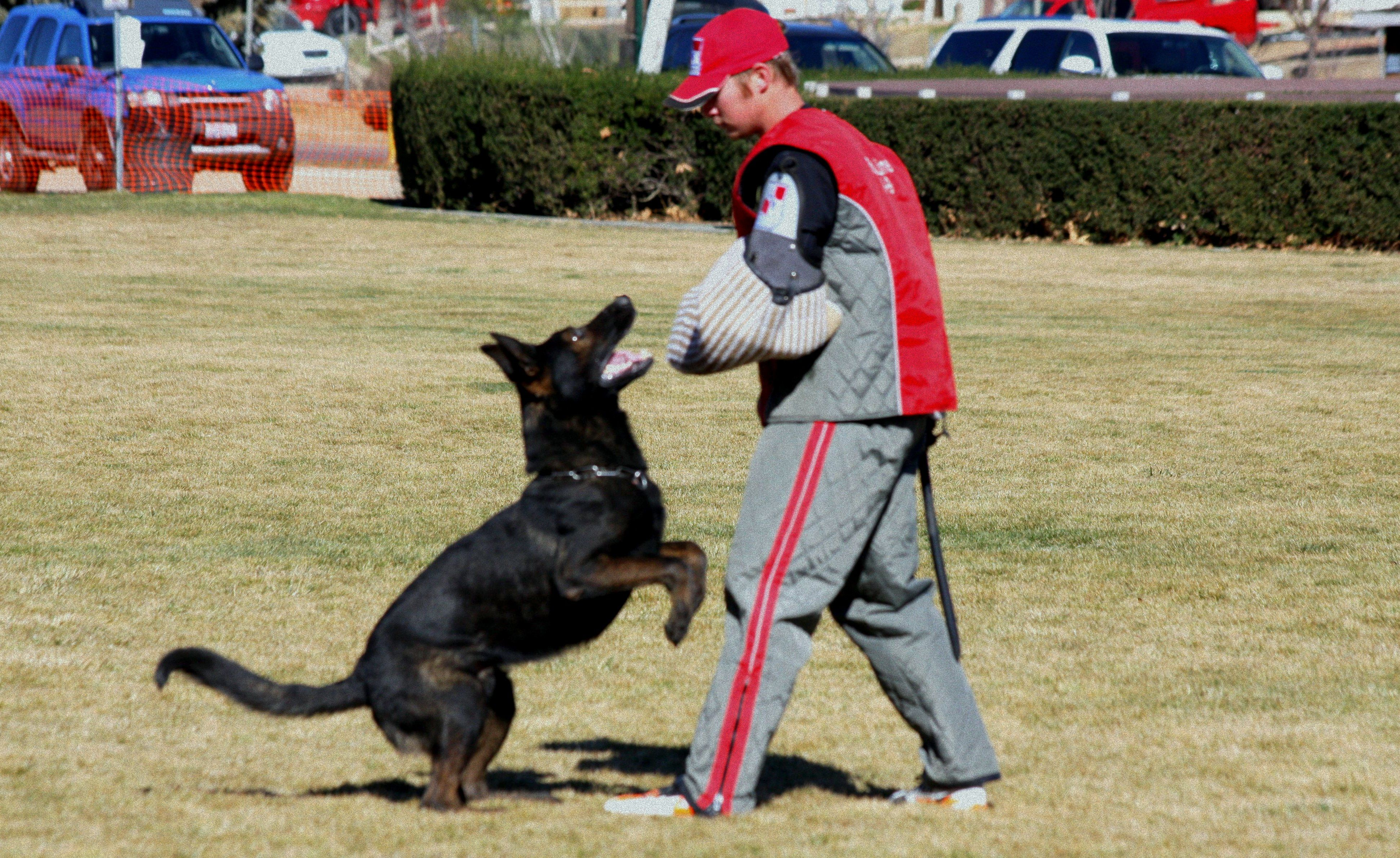 Schutzhund Training For German Shepherds Working Trials