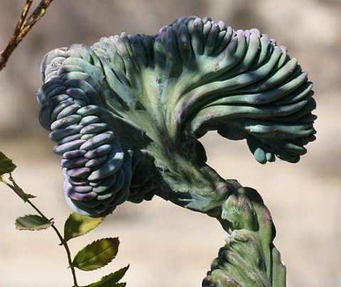 Blue Candle, Blue Myrtle Cactus, or Garambullo (Myrtillocactus geometrizans