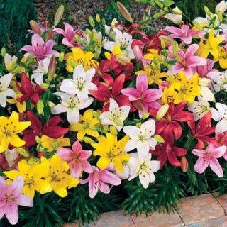 Mixed Carpet Border Lilies Spring Hill Nursery