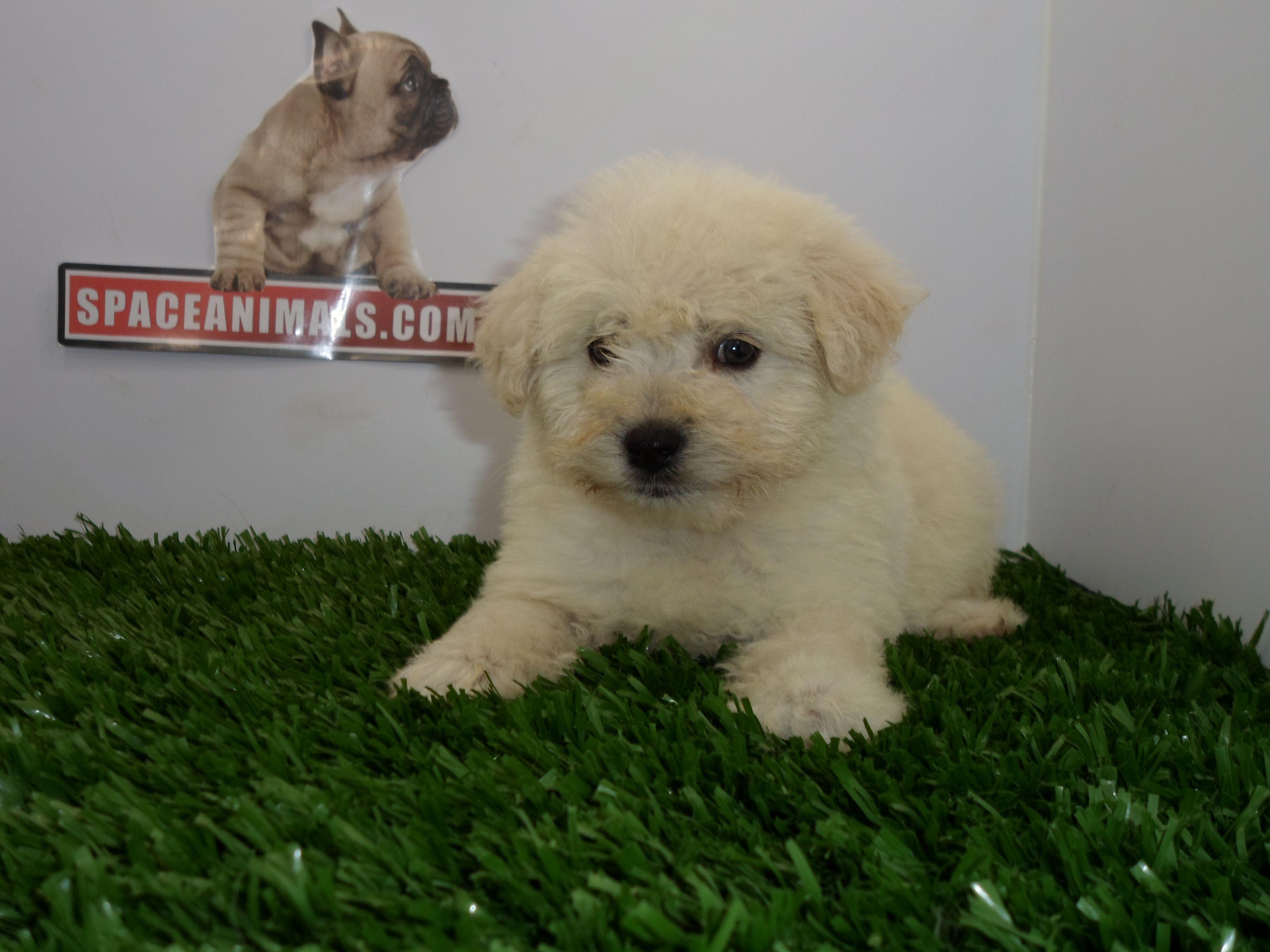 Compra Venta De Cachorros Perros De Raza Bichon Maltes Miniatura Hembras Y Machos Spaceanimals Com Mx Pedigree Azul Ahorro Venta De Cachorros Cachorros Perros