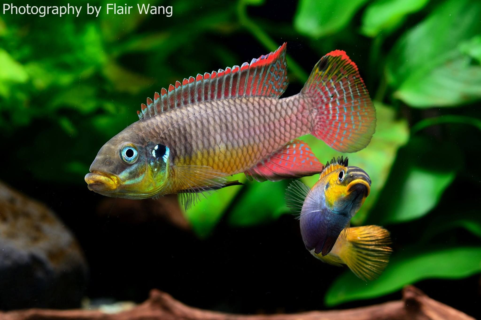 pelvicachromis taeniatus Texas dwarf Cichlid fiend