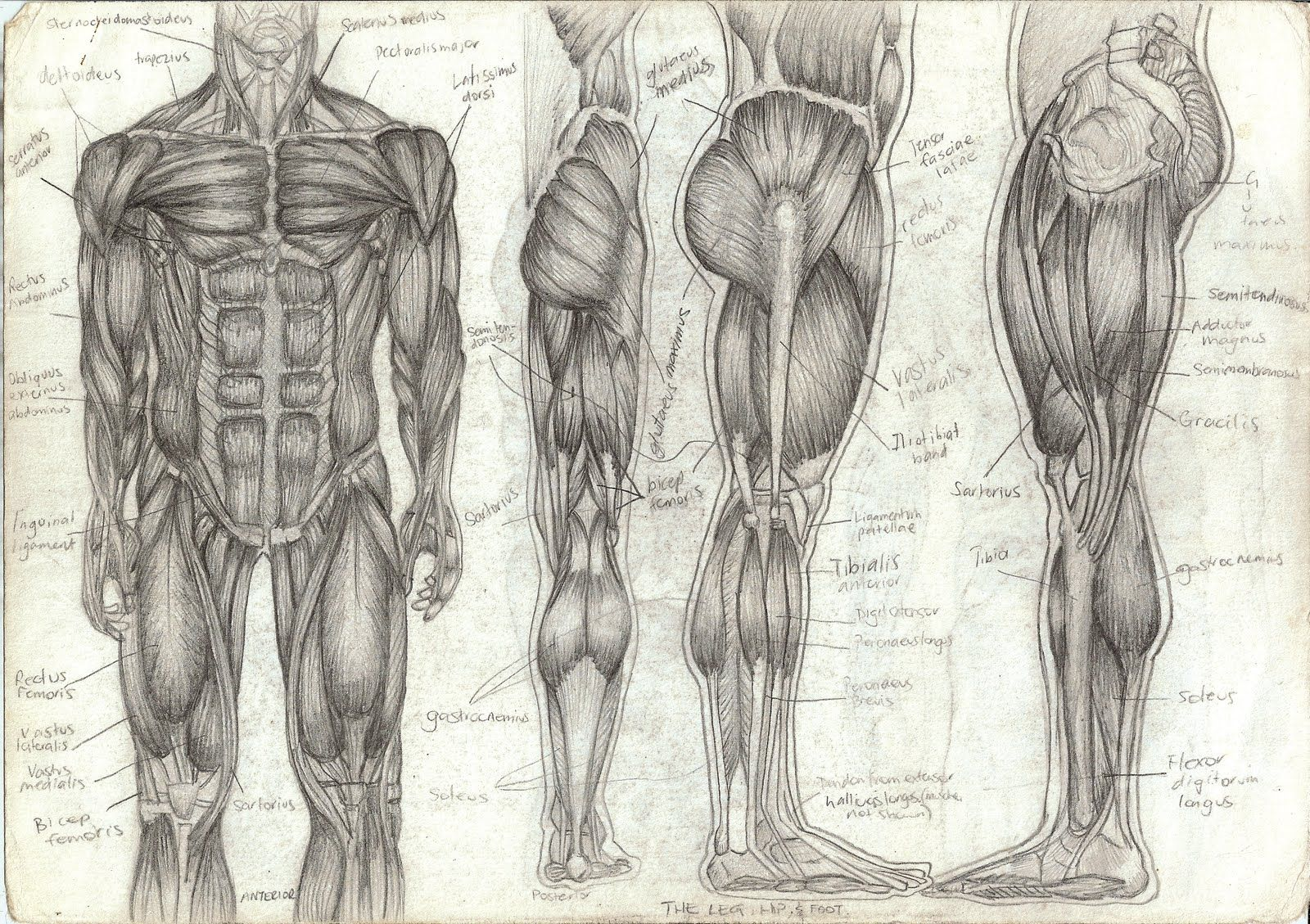 Anatomy—branch of biology concerned with the study of body structure ...