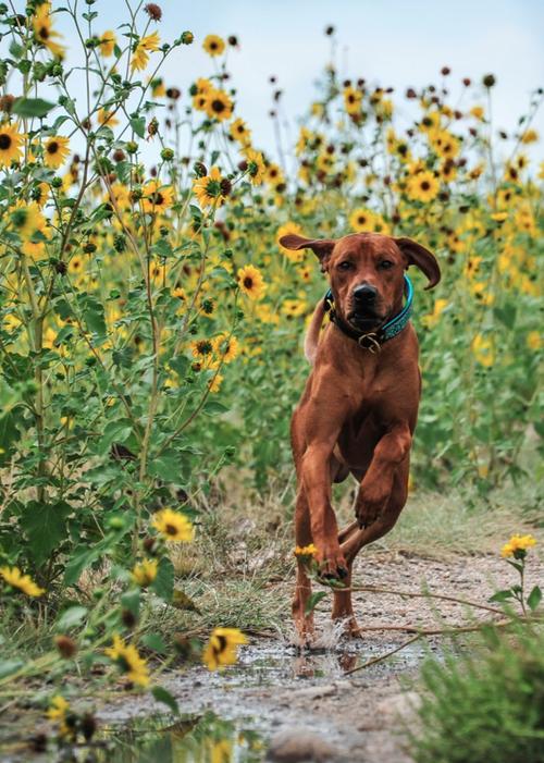 gorgeous Redbone coonhound