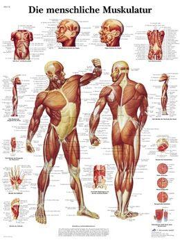 Wie gut wissen Sie über Ihre Muskeln Bescheid? | Pinterest | Muskel ...