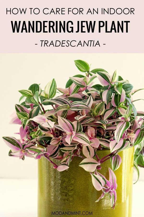 Pink plants are the best! How to care for your indoor Tradescantia plants aka the Wandering Jew, a complete guide on how to make it thrive. Light, water, humidity, pruning, propagation. | Read it all at modandmint.com | #hangingplants #houseplants #indoorplants #plants #pinkplants #indoorgardening #bathroomplants #wanderingjewplant Pink plants are the best! How to care for your indoor Tradescantia plants aka the Wandering Jew, a complete guide on how to make it thrive. Light, water, humidity, pr #wanderingjewplant