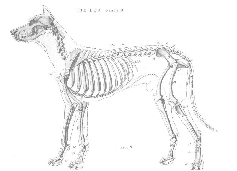 Dog anatomy - Skeleton | Veterinary stuff! | Pinterest | Dog anatomy ...