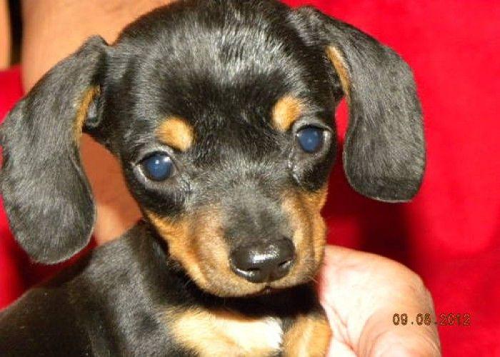 Sweet 2 Pound Baby Black Tan Female Dachshund Doxie Puppies