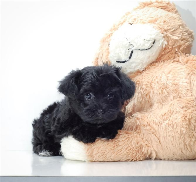 Yorkiepoo Puppy Just Like My Old Dog Yorkie Poo Puppies