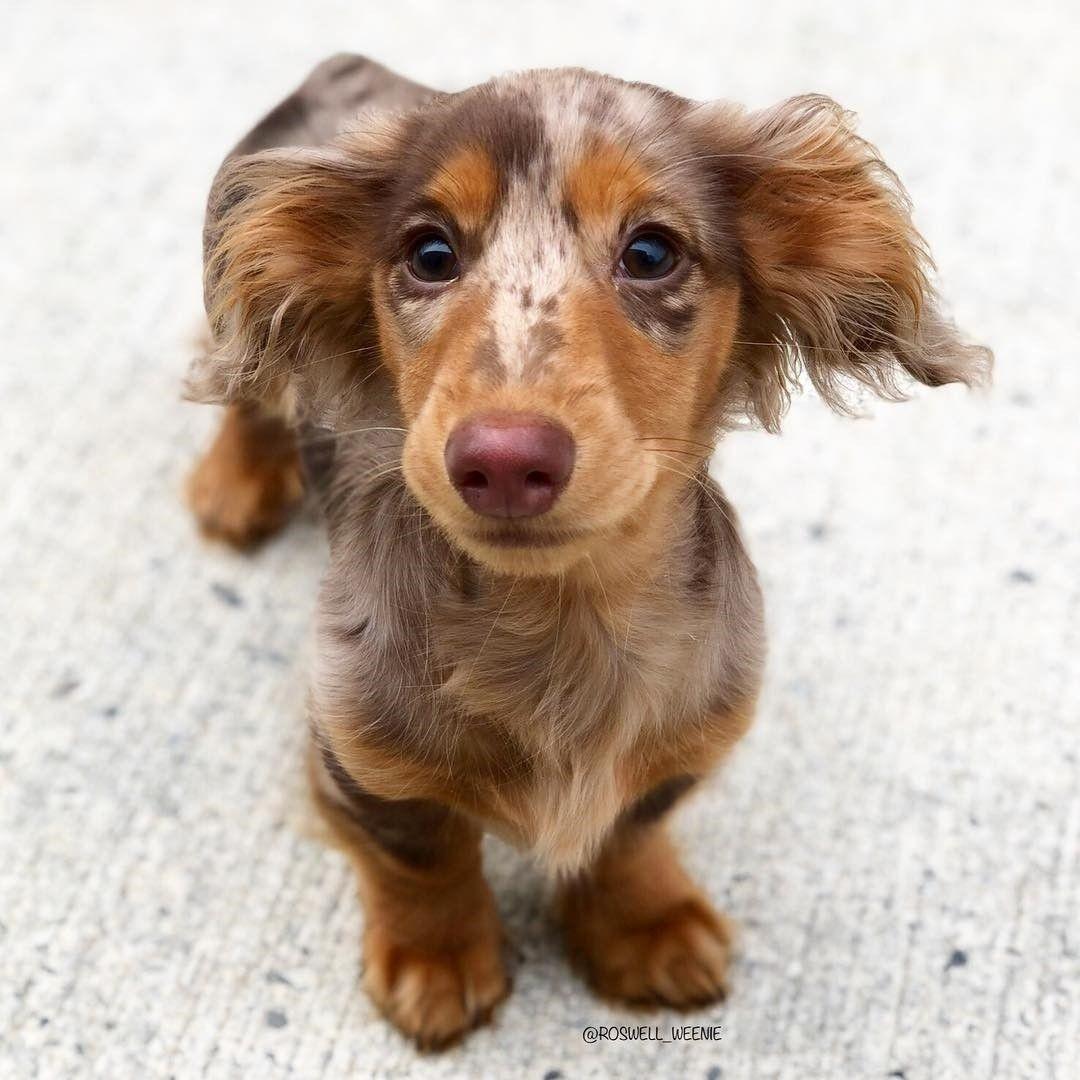 Love The Little Red Nose Dauchshund Puppy Cute Animals
