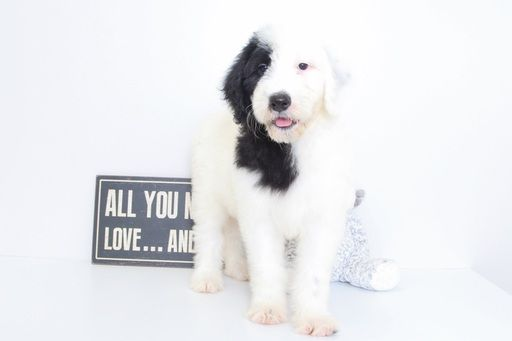 Sheepadoodle Puppy For Sale In Naples Fl Adn 47993 On Puppyfinder Com Gender Female Age 10 Weeks Old Sheepadoodle Puppy Puppies For Sale Puppies