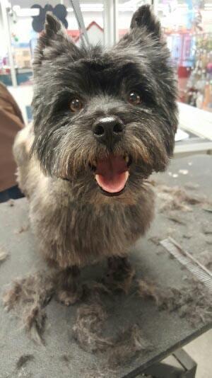 Adopt Oscar On Cairn Terrier Terrier Dogs Terrier
