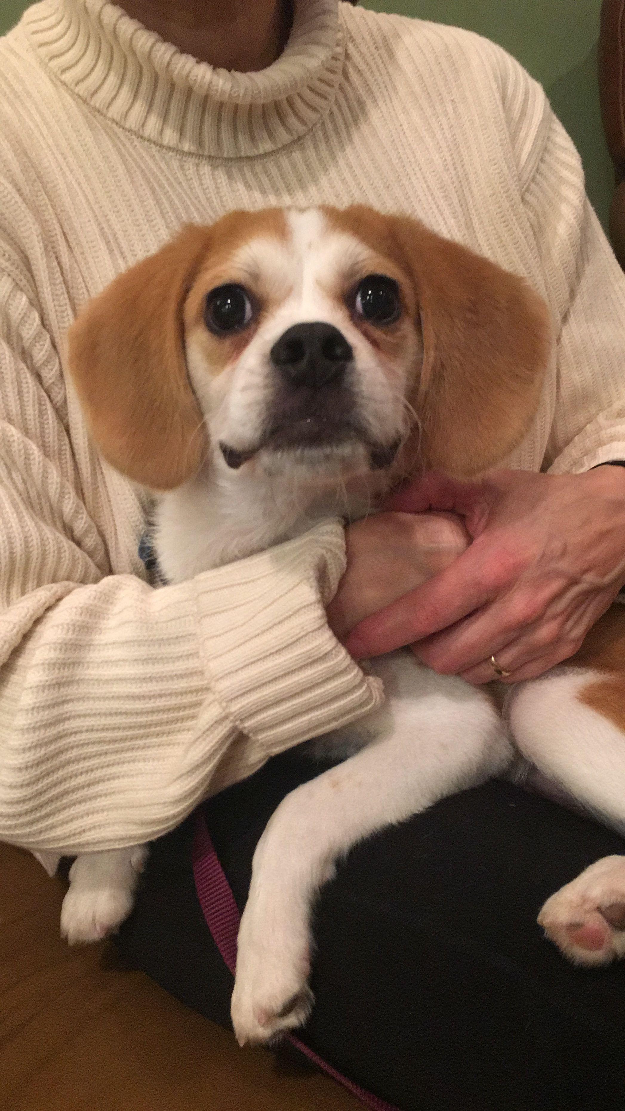 Why Beagles Make Great Pets Stenata
