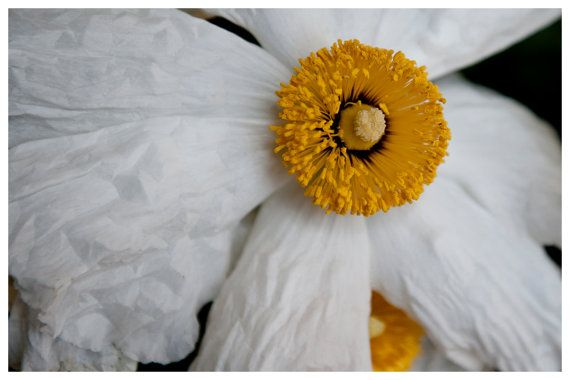 flower photography large white poppy bright yellow center by enframephotography