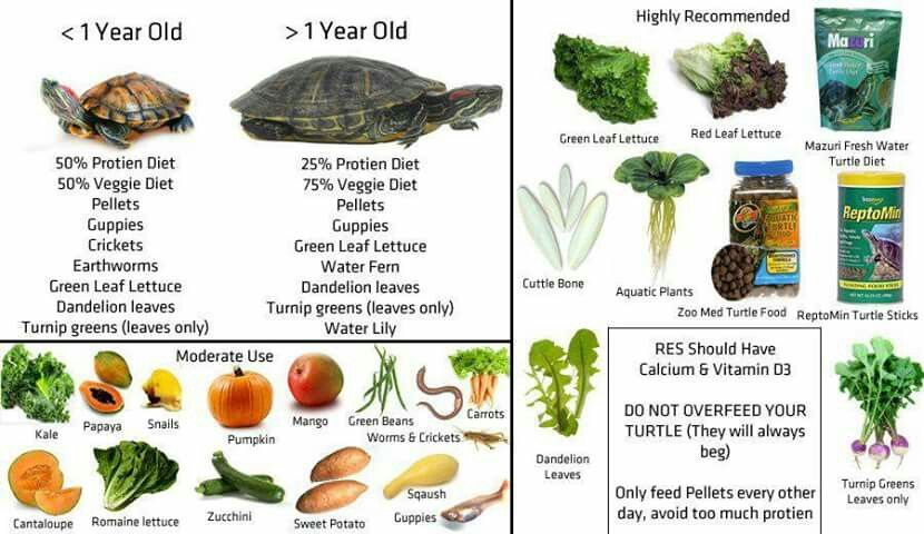 Red Eared Slider Turtle Food List