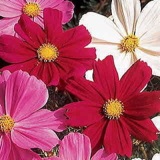 Gazebo Red Cosmos Flower Seeds Flower Seeds Flowers Dream Garden