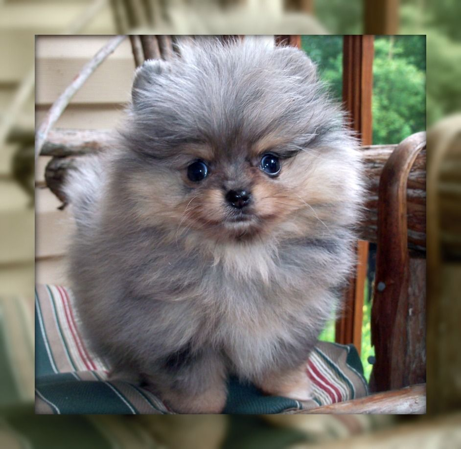 Past Puppies - One Love Poms | POMS