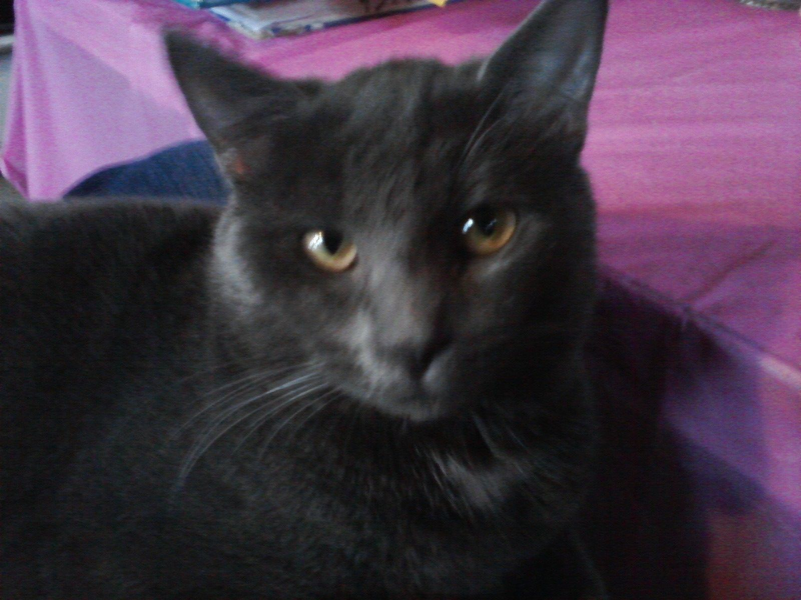 ONe of my cats..this one is a RUSSIAN BLUE named...ODIN