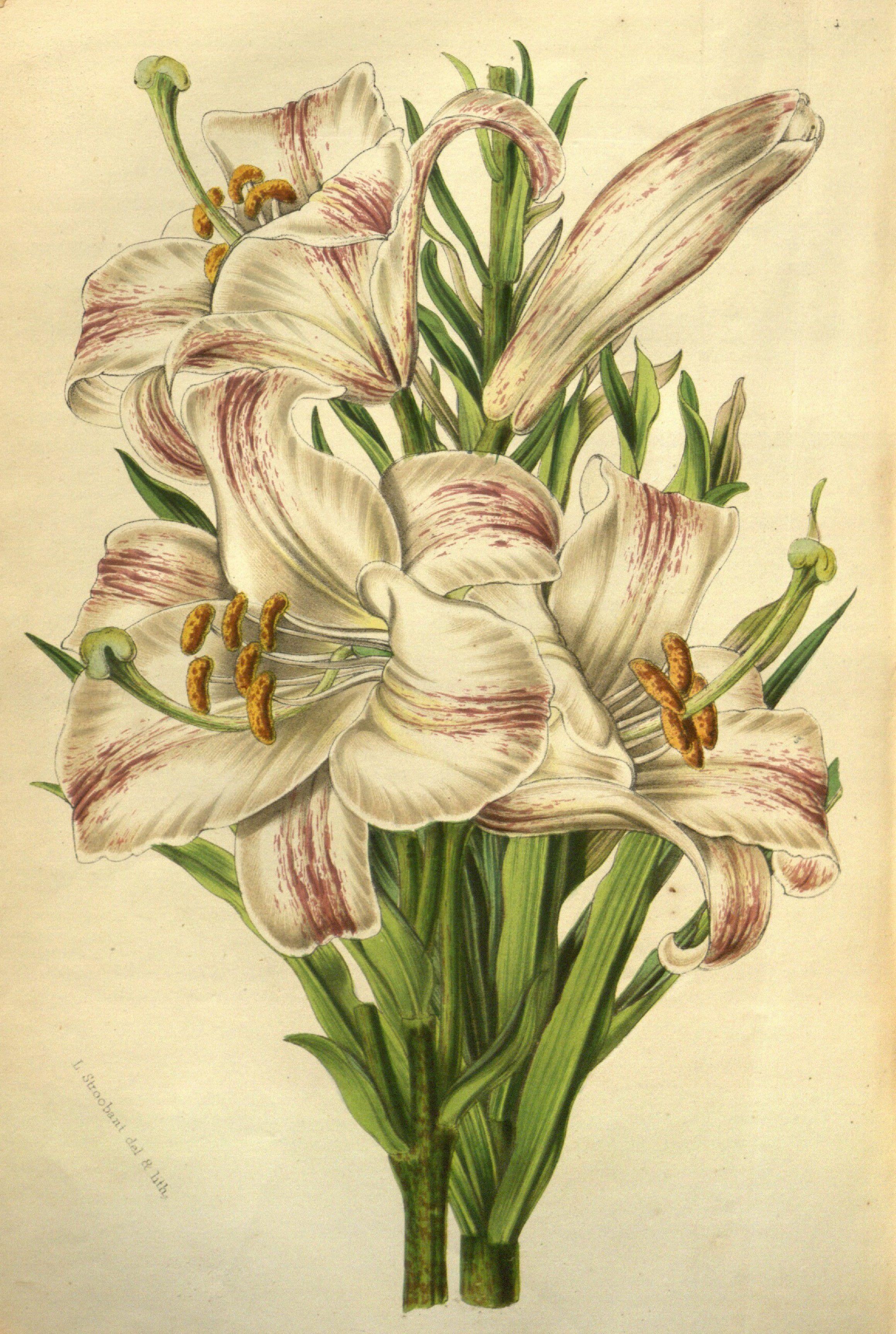 Madonna lily lilium candidum var flore striato circa 1852 madonna lily lilium candidum var flore striato circa 1852 izmirmasajfo