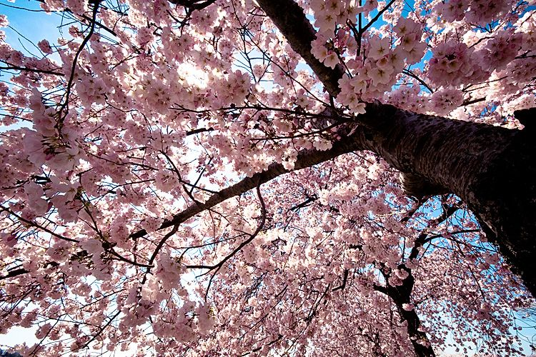 Picture Of Cherry Blossoms Spring S Coming Early Cherry Blossoms Cherry Blossom Season Cherry Blossom Festival Cherry Blossom