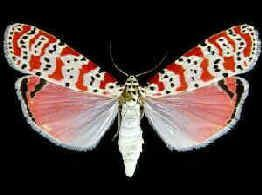 Ornate Moth, Utetheisa ornatrix