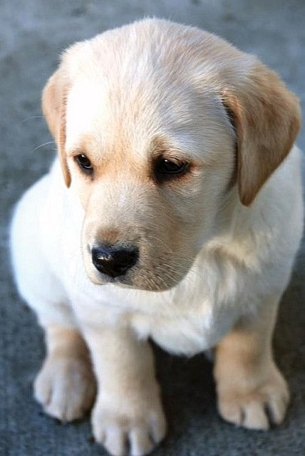 I Swear It Wasn T Me Who Peed On The Floor We Both Know I M Too Cute For That Photo Via Nikitajade Via Labrador Puppy By Labrador Puppy Lab Puppies Puppies