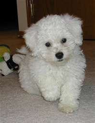 How Sweet Is This Puppy Poochon Puppies Bichon Frise Puppy