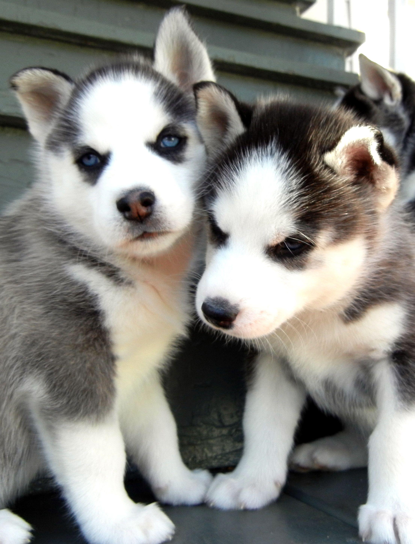 Sarah And Zuka Malamute Husky Wolf Husky Pet Dogs