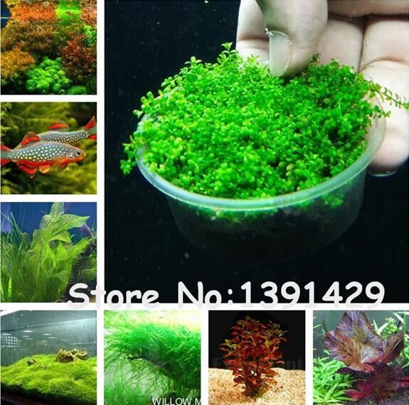New !!! 1000 Pcs Underwater Aquatic Plants Seeds Moss Aquarium Plant