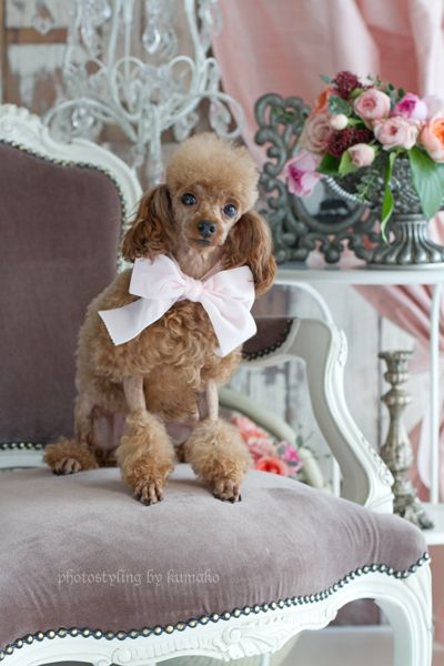 Adorable poodle with bow...