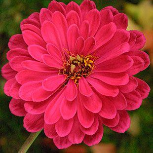 Zinnia - Double Cherry, Double Fire, Zowie! Yellow Flame,     Zahara Starlight Rosa