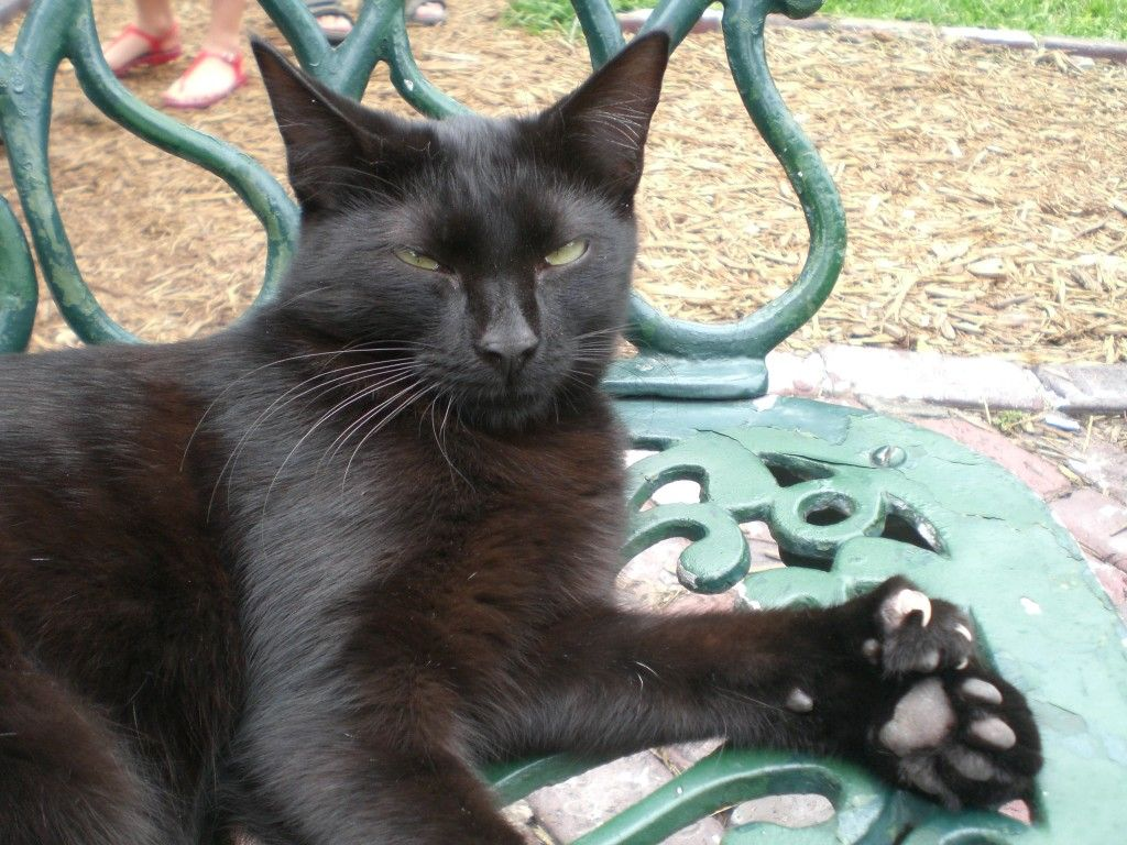 Polydactyl cat at former home of Ernest Hemmingway. Photo: Averette at en.wikipedia