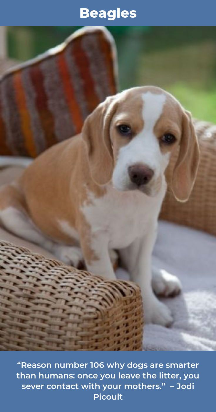 Beagle Beagleclub Beagles Names Beagle Lemon Beagle Dogs Beagle