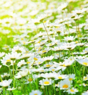 The beauty of a simple daisy