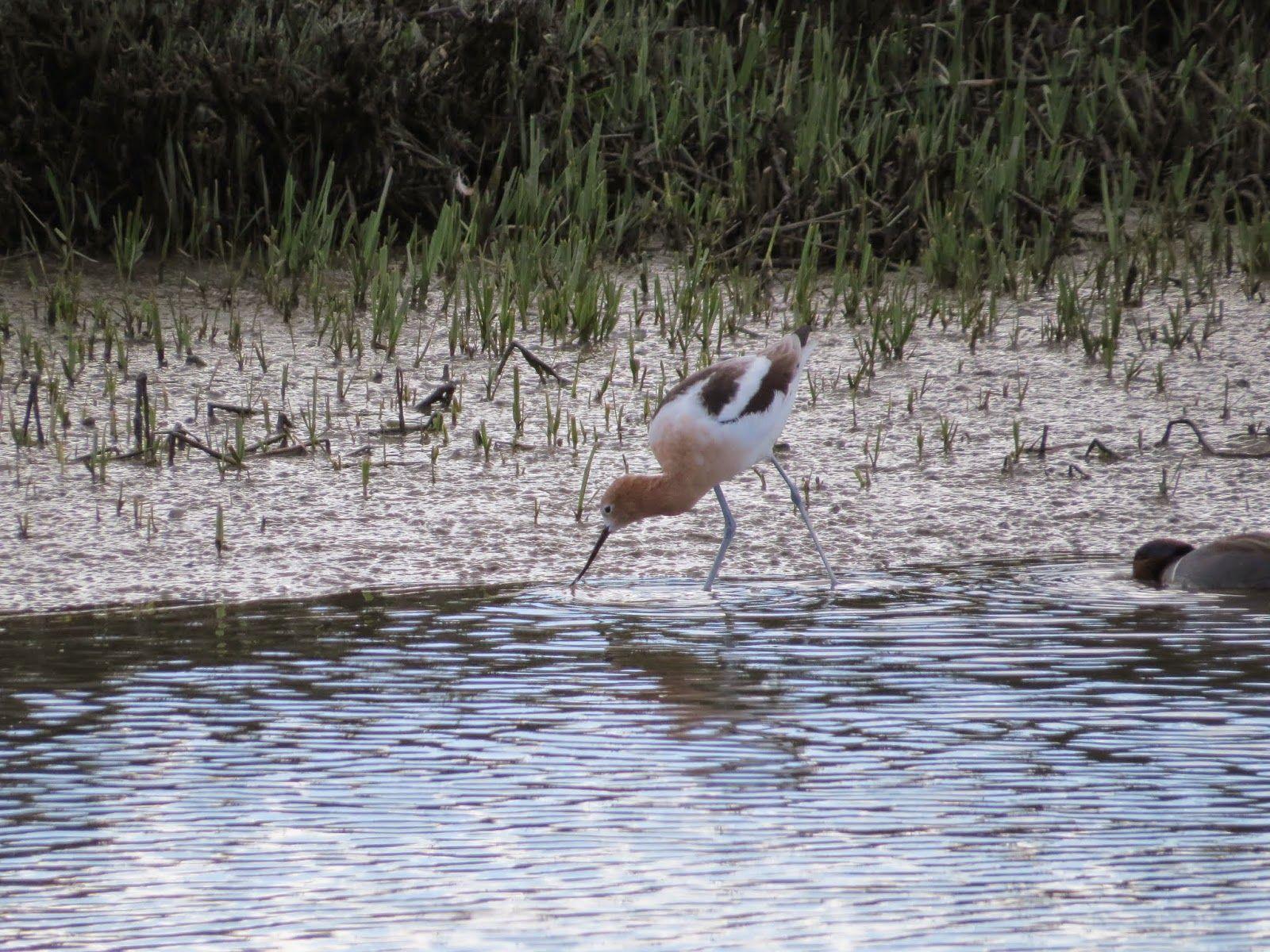 Birding in the palo alto baylands palo alto bird photo