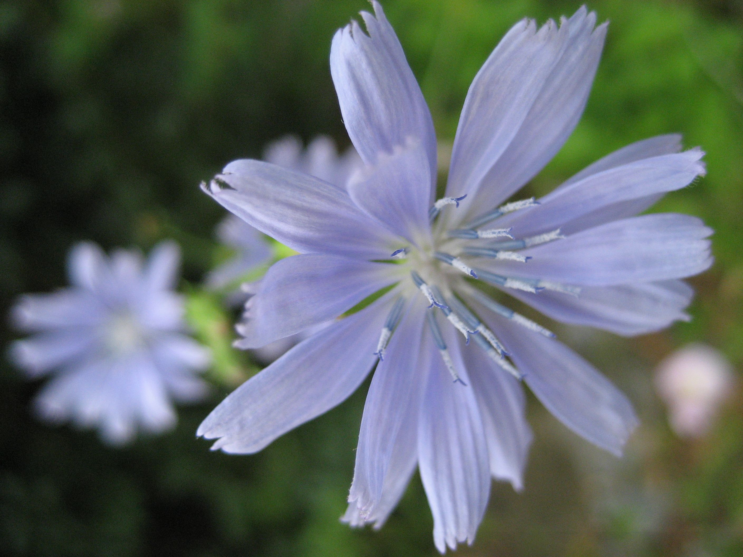 Pin by Amber Astrophil on Chicory (Cichorium Intybus ...