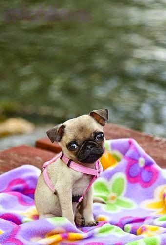 Top 10 Best Lap Dog Breeds | Cute pug puppies, Cute pugs, Baby pugs