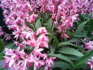 Native Dendrobium Orchid Aussie Star Dendrobium Orchids Orchids Bali Garden