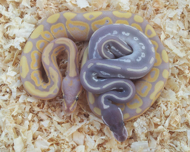 banana/purple passion ball python Ball python, Ball