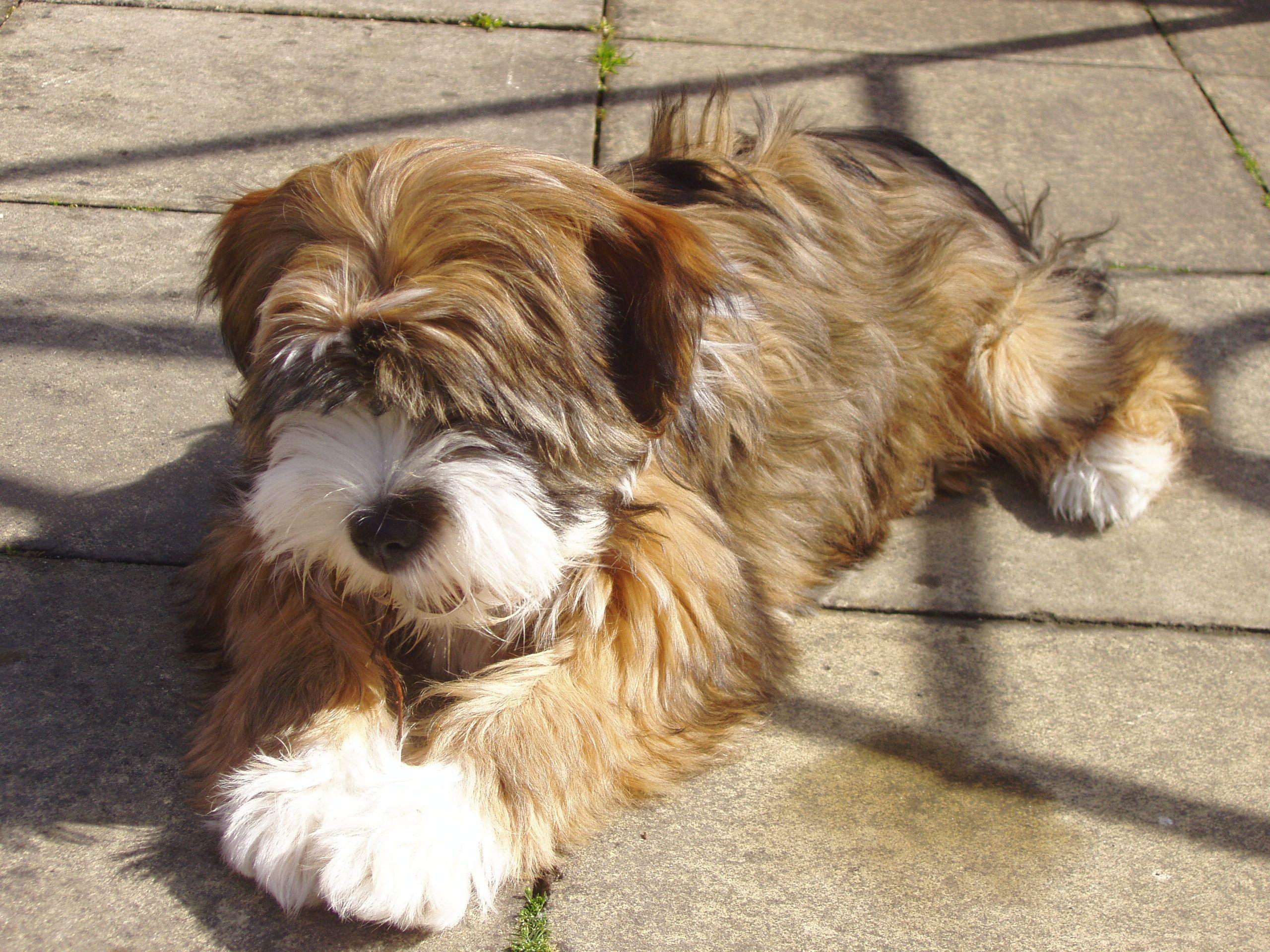 Tibetan Terriers Pitbull Terrier Terrierrassen Hunderassen