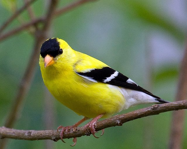 Spinus tristis, American Goldfinch male, Cobb County, Georgia | Flickr - Photo Sharing!
