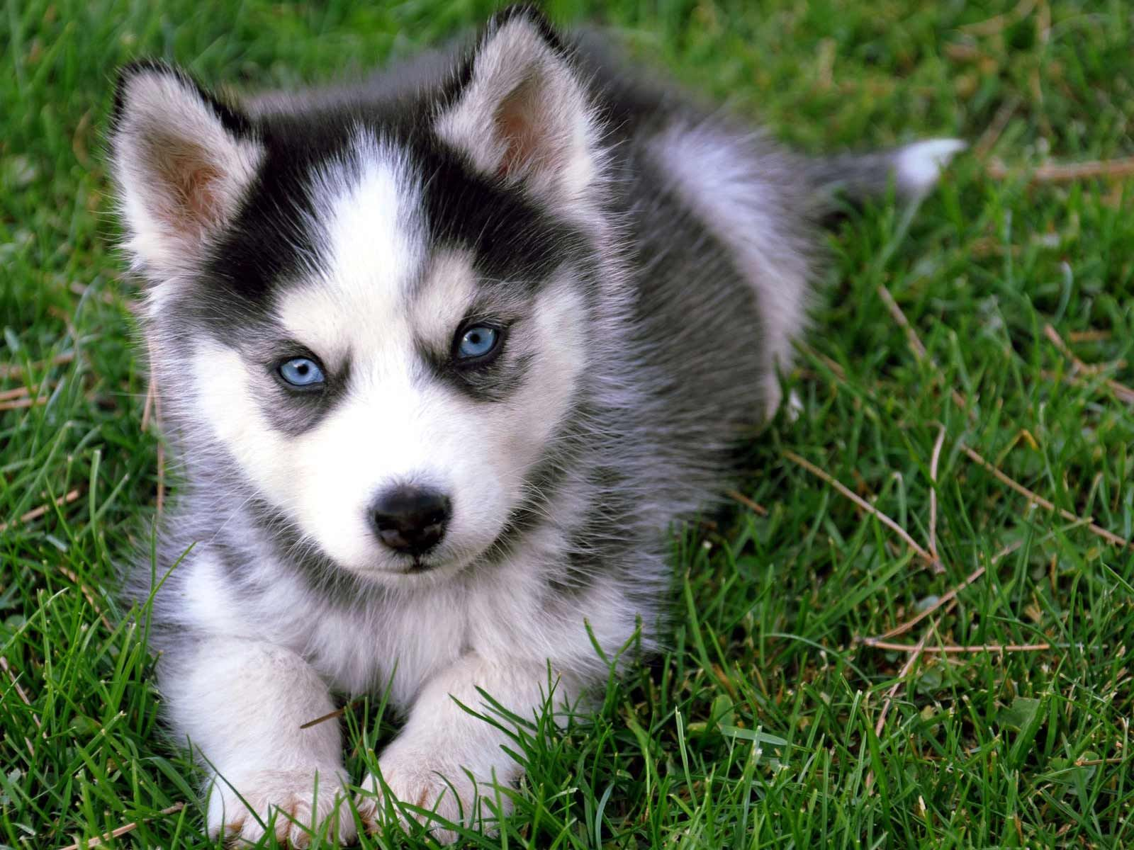 The Different Types Of Siberian Huskies Animaux Chiot Bebes